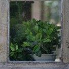 Gardenia à la fenêtre
