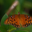 Gulf Fritillary Butterfly rest for a minute