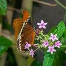Butterfly Rusty Tipped (Siproeta epaphus)