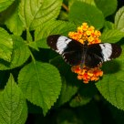 Butterfly Cydno Longwing (heliconius Cydno)