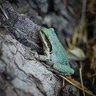 Northern Pacific Tree Frog (Pseudacris regilla)