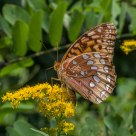 A Working Fritillary
