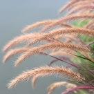 Pennisetum alopecuroides (L. ) Spreng.