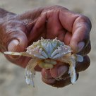 A Crab in Hand...