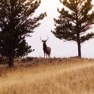 Magestic Bull Elk