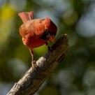 Cardinal looking down