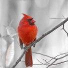 'Northern Cardinal'