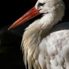 Cicogna - Stork