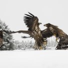 Eaglefight