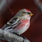 Common Redpoll (male)