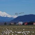 Skagit Snow Geese