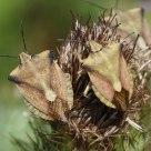 Bugs Carpocoris sp.