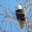 Skagit Eagle 2