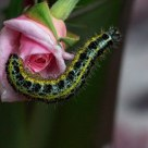 Pink flower and caterpillar P. brassicae
