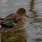 Alzavola femmina - Female Teal duck