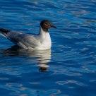 Sailing in Blue (Mediterranean gull)
