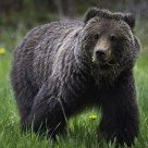 Brown Grizzly