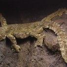 Blend in--Gecko