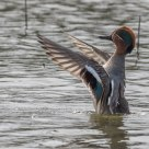 Il flap - The flap (Alzavola maschio - Male Teal duck)