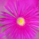 Pink Sea Fig