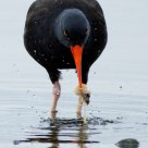Black Oystercatcher with Clam