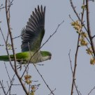 Parrocchetto in volo - Flying parrot