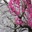 Peach & Sakura