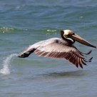 Pelican taking off -- the kick