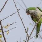 Il parrocchetto - The parrot