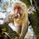 Snow Monkey Munching on Sakura