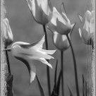 tulip season is over