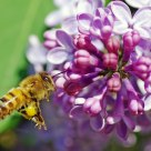 Lilac and Bees
