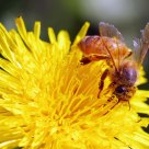 Bee on weed