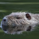 The white nutria