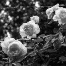 Imprisoned rose in the rain