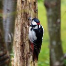 I spotted the spotted woodpecker