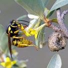 Wasp II