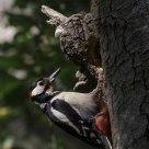 Picchio rosso maggiore - dendrocopos major