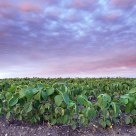 Spinach Field at Twilight