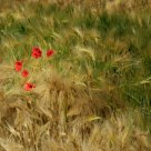 Poppies in barley field