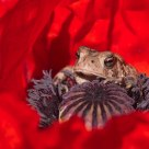 Common Toad in a Poppy