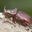 Rhino bug