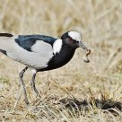 White Crowned Lapwing with catch