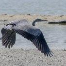 Il volo - The Flight (Airone Cinerino - Grey Heron)