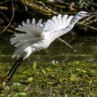 Garzetta al decollo - Egret Take off