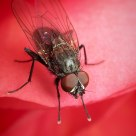 Tiny fly in a begonia blossum