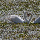 Cigni a cuore - Heart of swans (Cignus olor)