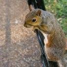 Scoiattolo affacciato - Overlooking squirrel