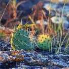 Plains Prickly Pear Cactus