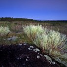 Sagebrush at Twilight
